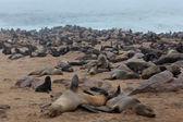 海豹在海滩上,纳米比亚的休息 — 图库照片