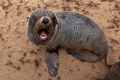 Sevimli küçük seal, namibia, afrika — Stok fotoğraf