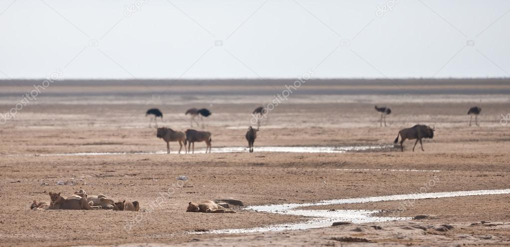 Wild life in Namibia  Foto de Stock   #18037923