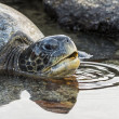 Galapagos turtle swim in water - Stock Photo