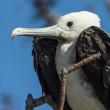 Magnificent frigatebird (Fregata magnificens) on Galapagos islands - 图库照片