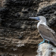 Stok fotoğraf: Blue footed booby bird on Galapagos islands