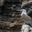 Stockfoto: Blue footed booby bird on Galapagos islands