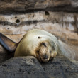 Sea lion resting — Stock Photo #25263559