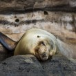 Sea lion resting - Stock Photo