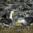Albatrosses on Galapagos islands - Stock Photo