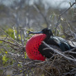 Frigate bird on Galapagos islands - Stock Photo