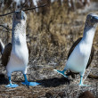 Stock Photo: Blue footed booby birds of Galapagos islands
