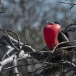 Frigate Bird courting display, Galapagos Islands — Stock Photo