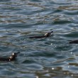 Stock Photo: Galapagos penguin swimming