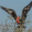 Flying Frigate bird of Galapagos islands — Stock Photo