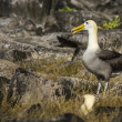 Albatrosses on Galapagos islands — Stock Photo #25263831