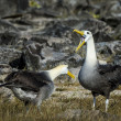 Albatrosses on Galapagos islands — Foto Stock