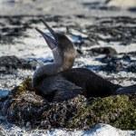 Flightless Cormorant (Phalacrocorax harrisi), Galapagos. — Stock Photo