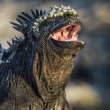 Closeup of Galapagos iguanas with open mouth — Stock Photo
