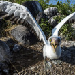 Stock Photo: Albatross on Galapagos islands