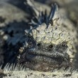 Closeup of Galapagos marine iguana — Stock Photo