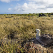 Albatross on Galapagos islands — Stock Photo #25264001