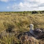 Albatross on Galapagos islands — Stock Photo