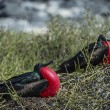 Couple of frigate birds on Galapagos islands — Stock Photo