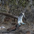Blue footed booby bird of Galapagos islands — Foto Stock
