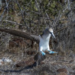 Blue footed booby bird of Galapagos islands — Stockfoto