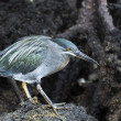 Stockfoto: Galapagos bird walking on lava