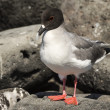 Stock Photo: Lavgull on Galapagos islands