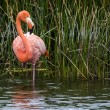 Beautiful red galapagos flamingo - Stock Photo