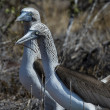 Blue footed booby birds of Galapagos islands — Foto Stock