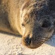 Sea Lion — Stock Photo #25264239