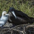 Great frigatebird (Fregata minor) feeding its chick — Stock Photo #25264273