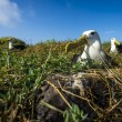 Albatrosses on Galapagos islands — Stock Photo