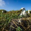 Albatrosses on Galapagos islands — Stock Photo