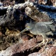 Lava heron on Galapagos islands — Stock Photo