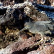 Stock Photo: Lavheron on Galapagos islands