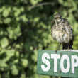 Galapagos Mocking Bird sitting on the Stop sign - Stock Photo