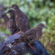 Galapagos doves - Stock Photo