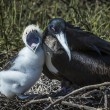 Great frigatebird (Fregata minor) feeding its chick — Stock Photo #25264427
