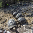 Stock Photo: Galapagos Giant Turtles
