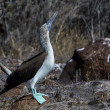 Blue footed booby bird of Galapagos islands — Stock Photo