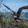 Galapagos frigate birds courting - Stock Photo