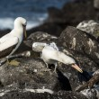 Stock Photo: Seagulls on Galapagos islands