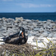 Stock Photo: Galapagos frigate bird sitting on nest