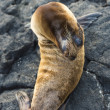 Sea lion au repos — Photo #25264583