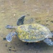 Pacific green seturtle swimming away — Stock Photo #25264635