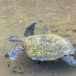 Stock Photo: Pacific green seturtle swimming away