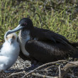 Stock Photo: Great frigatebird (Fregatminor) feeding its chick