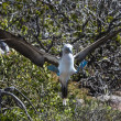 Stock Photo: Blue-footed booby birds on Galapagos islands