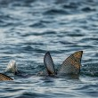 Stock Photo: Fish fins above water, Galapagos islands